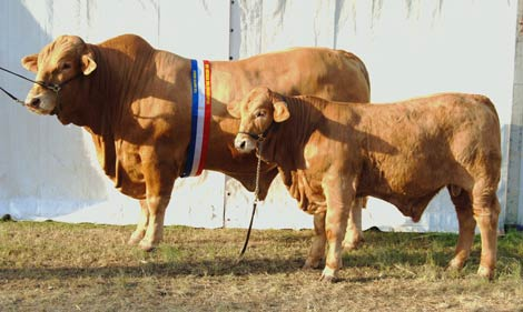 newcombes-bodman-dawson-bull-and-calf-beef-09